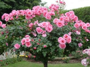Care and cultivation of roses